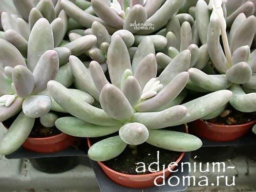 Pachyphytum FITTKAUI Пахифитум Фиткау 3