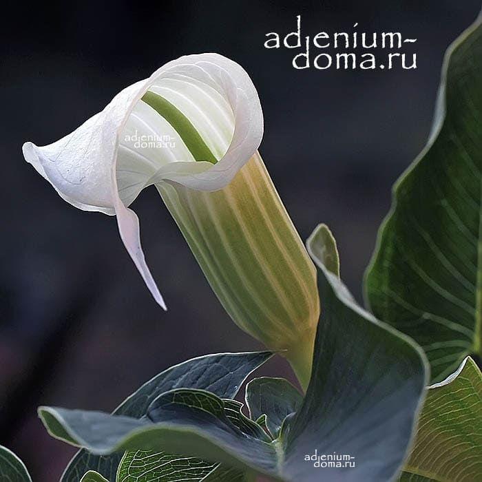Arisaema CANDIDISSIMUM Аризема белоснежнейшая цветок 1