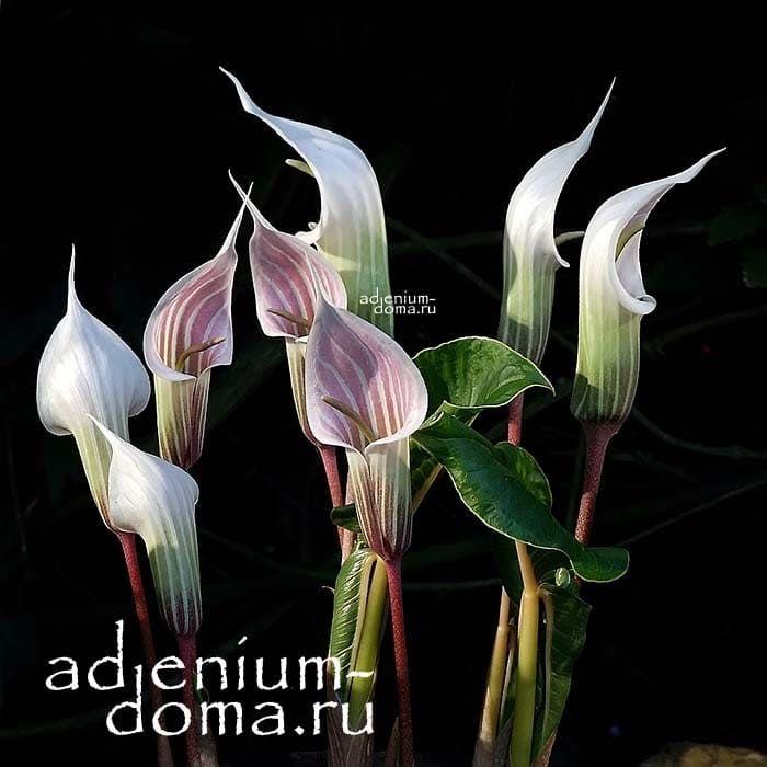 Arisaema CANDIDISSIMUM Аризема белоснежнейшая цветы 2