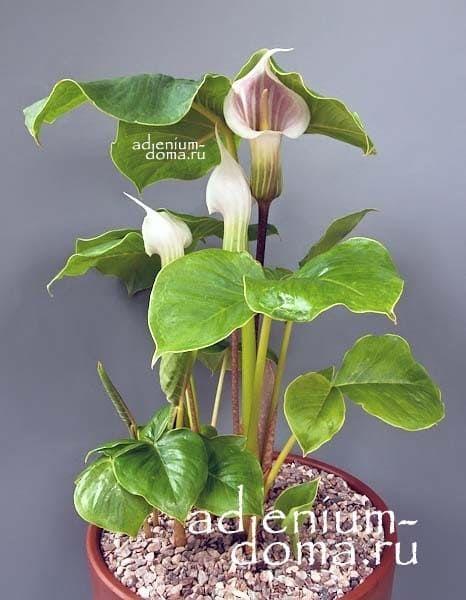 Arisaema CANDIDISSIMUM Аризема белоснежнейшая в горшке 3