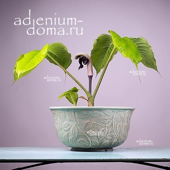 Arisaema RINGENS Аризема зияющая цветок 2