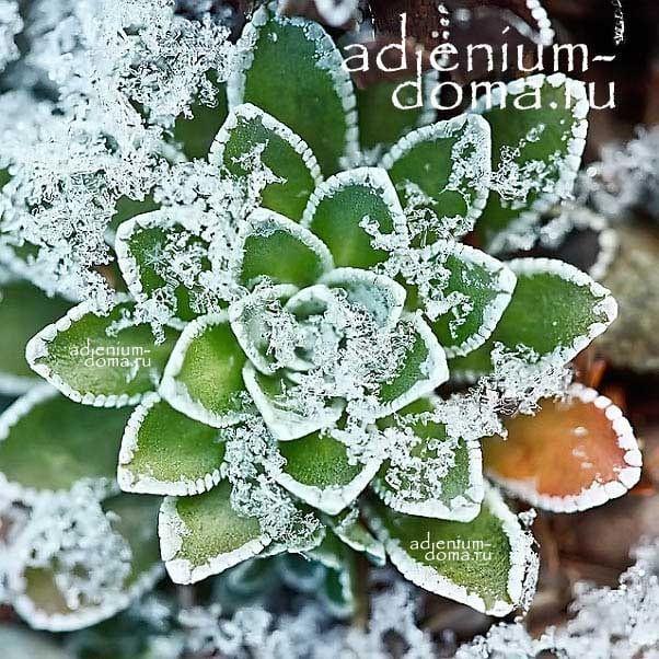 Saxifraga PANICULATA Камнеломка метельчатая Камнеломка вечноживая в снегу 5