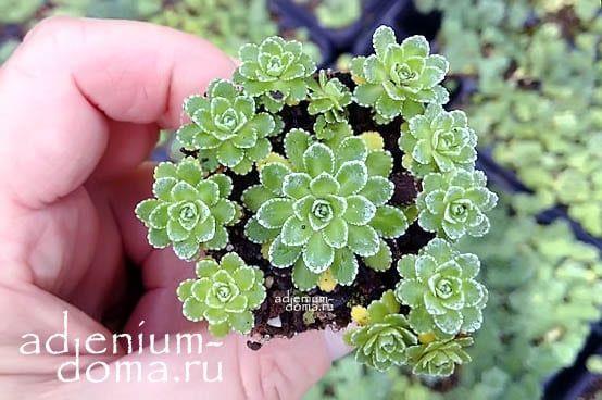 Saxifraga PANICULATA Камнеломка метельчатая Камнеломка вечноживая миниатюрная 2