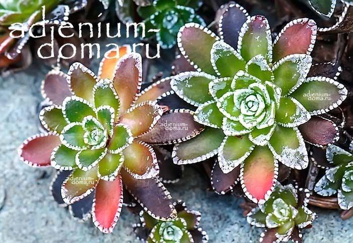 Saxifraga PANICULATA Камнеломка метельчатая Камнеломка вечноживая цветная 3