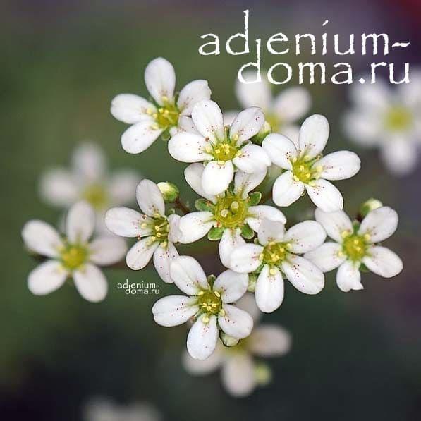 Saxifraga PANICULATA Камнеломка метельчатая Камнеломка вечноживая цветы 4