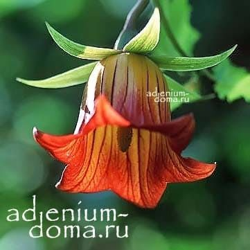 Сanarina CANARIENSIS Канарина канарская цветок 1