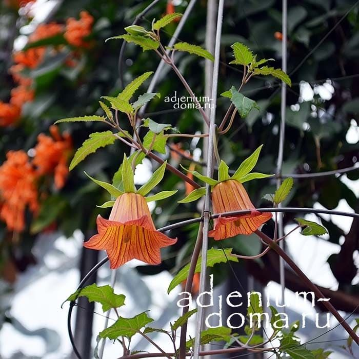 Сanarina CANARIENSIS Канарина канарская в саду 2