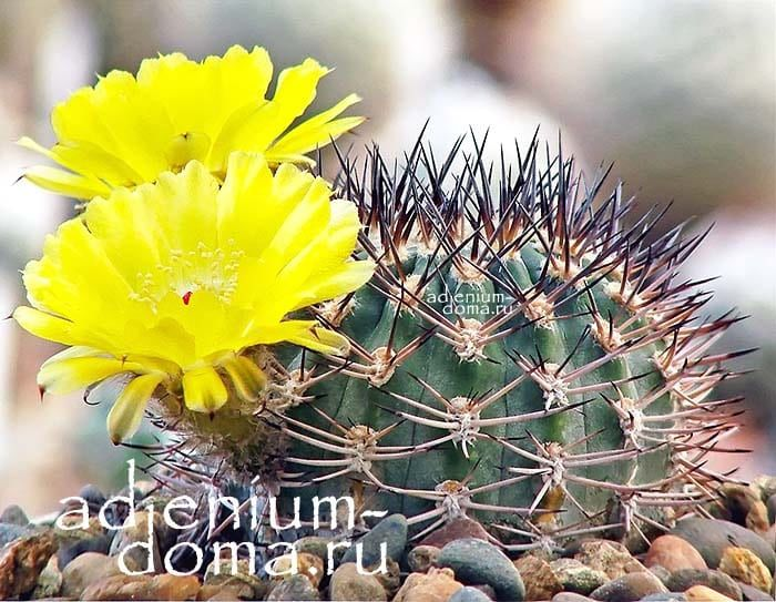 Acanthocalycium BREVISPINUM Акантокалициум короткоколючковый Echinopsis chionantha цветение 1