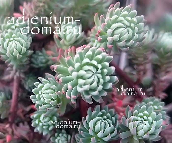 Sedum FORSTERIANUM Очиток Форстера Petrosedum forsterianum макро 2