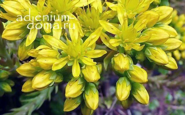 Sedum FORSTERIANUM Очиток Форстера Petrosedum forsterianum цветение 3