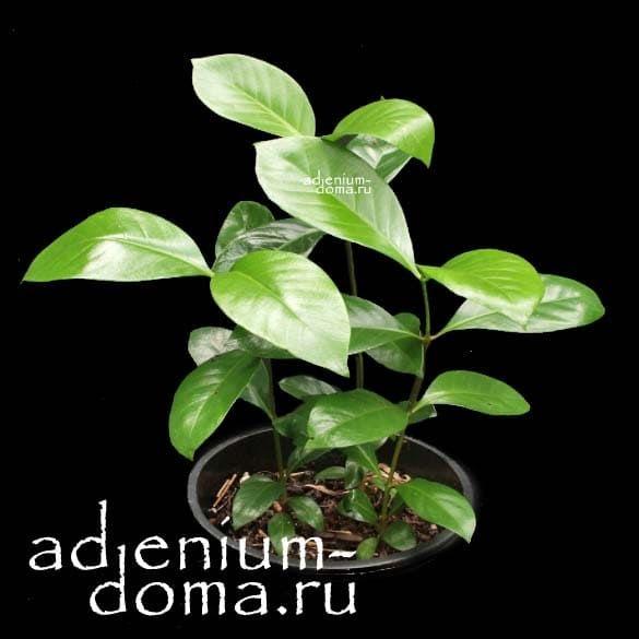 Portlandia GRANDIFLORA Портландия крупноцветковая листья 1