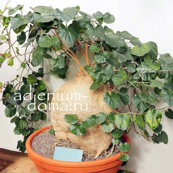 Pyrenacantha MALVIFOLIA Пиренаканта мальволистная 1