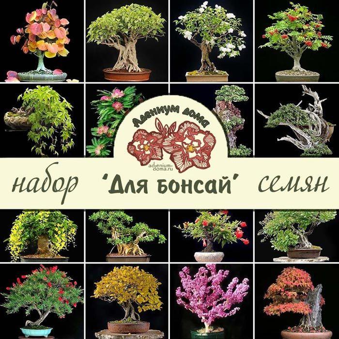 Набор семян ДЛЯ БОНСАЙ 1