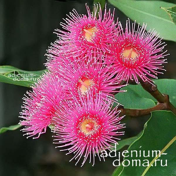 Eucalyptus TORQUATA Эвкалипт закрученный цветы 3