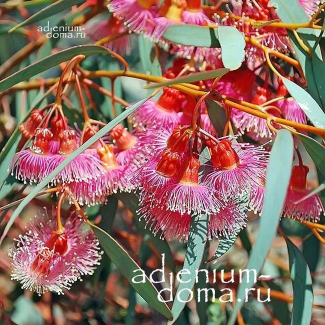 Eucalyptus TORQUATA Эвкалипт закрученный ветки 1
