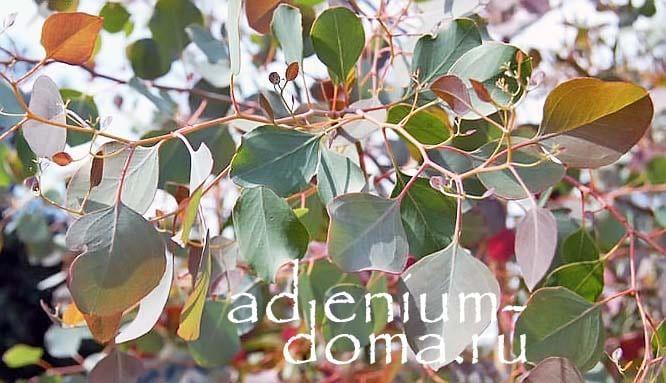 Eucalyptus POLYANTHEMOS Эвкалипт обильноцветковый ветки 1