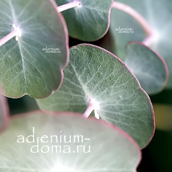 Eucalyptus PERRINIANA Эвкалипт Перрина макро 1