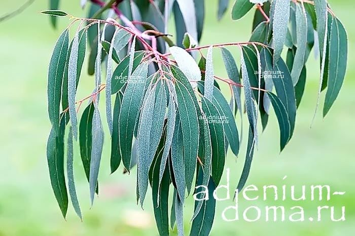 Eucalyptus PERRINIANA Эвкалипт Перрина ветки 2