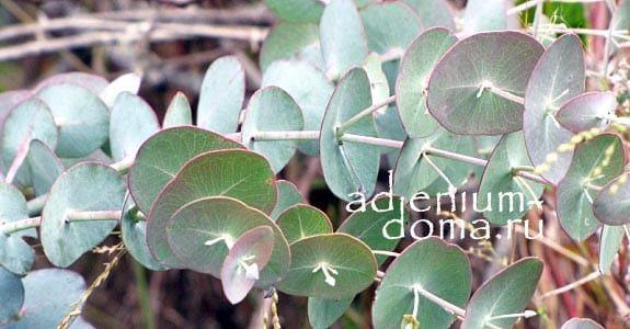 Eucalyptus PERRINIANA Эвкалипт Перрина листья 3
