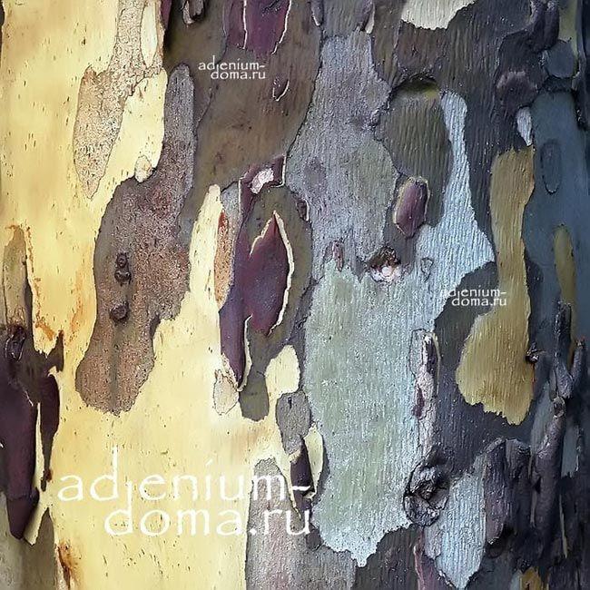 Eucalyptus URNIGERA Эвкалипт коробочконосный ствол и кора 3