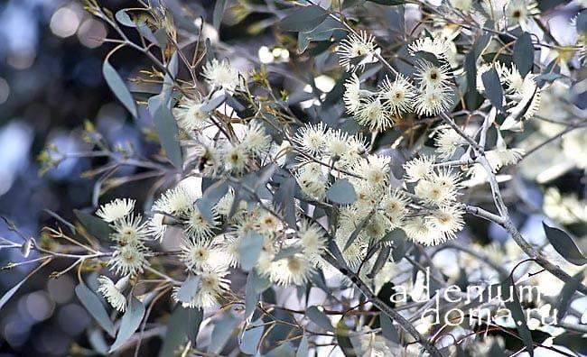 Eucalyptus URNIGERA Эвкалипт коробочконосный цветы 1
