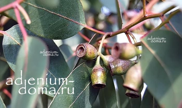 Eucalyptus URNIGERA Эвкалипт коробочконосный плоды 2
