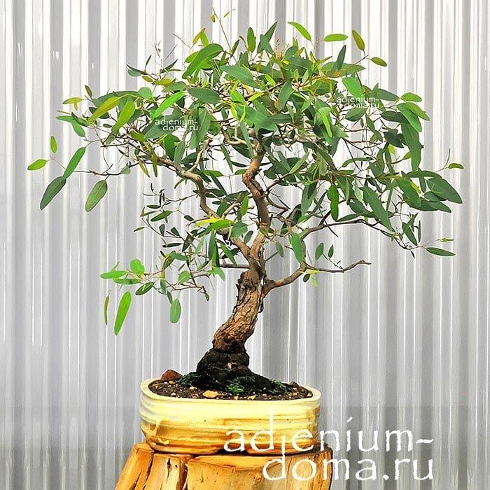 Eucalyptus TERETICORNIS Эвкалипт красный лесной бонсай bonsai 1