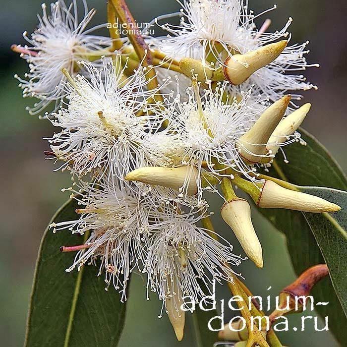 Eucalyptus TERETICORNIS Эвкалипт красный лесной цветение 2