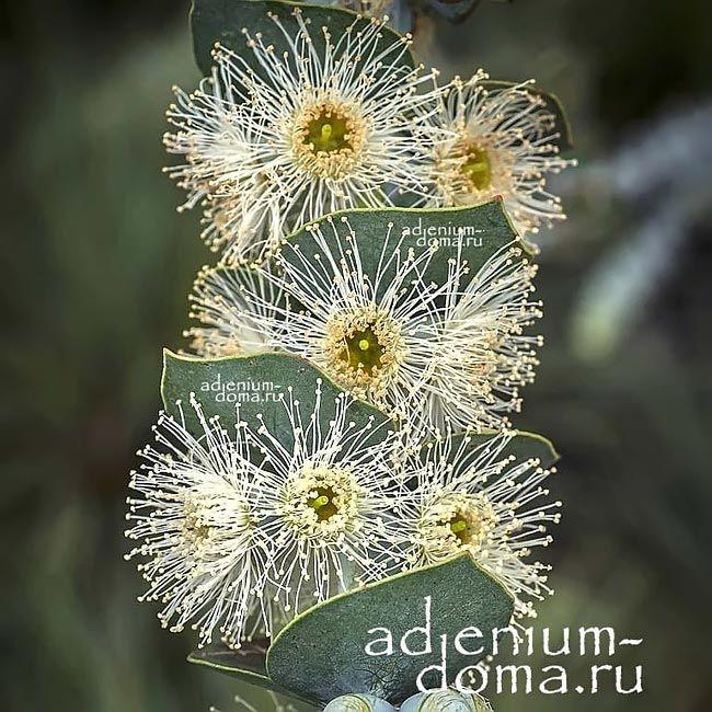 Eucalyptus PULVERULENTA Эвкалипт припудренный цветы 1