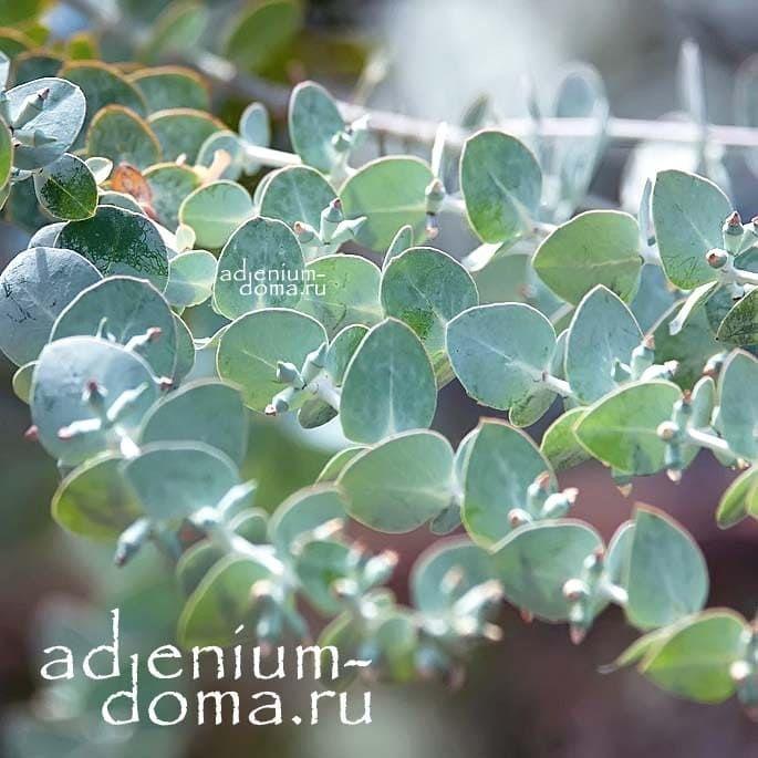 Eucalyptus PULVERULENTA Эвкалипт припудренный листья 2
