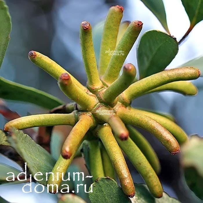 Eucalyptus LEHMANNII ЭвкалиптЛеманна бутон 2