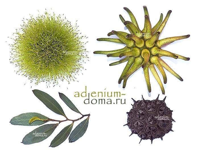Eucalyptus LEHMANNII ЭвкалиптЛеманна цветы листья плод 3