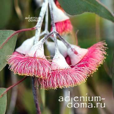 Eucalyptus CAESIA Эвкалипт сизый цветы 2