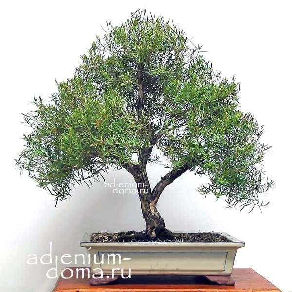 Melaleuca LINARIIFOLIA Мелалеука льнянколистная bonsai бонсай 1