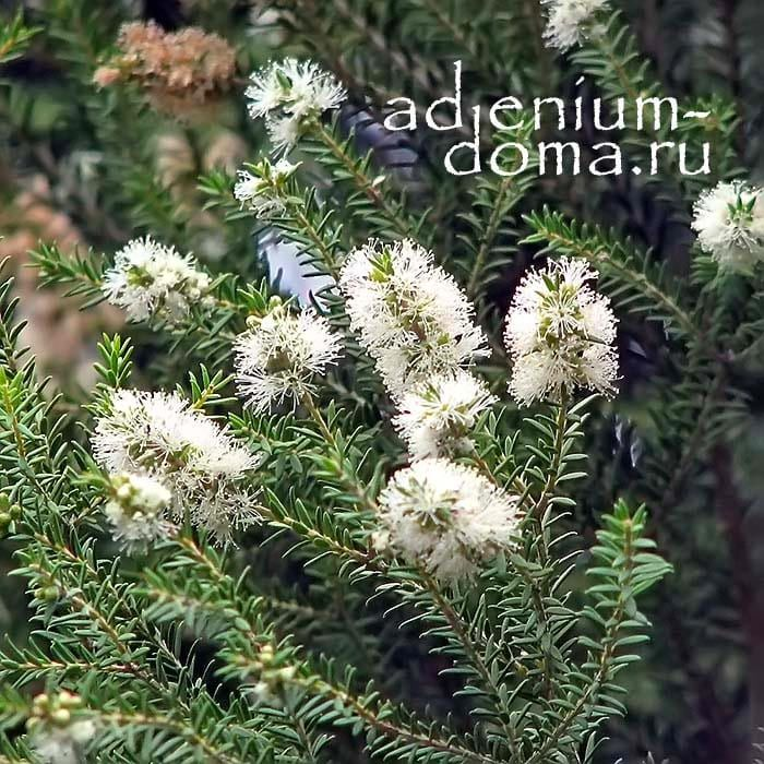 Melaleuca LINARIIFOLIA Мелалеука льнянколистная ветки 3