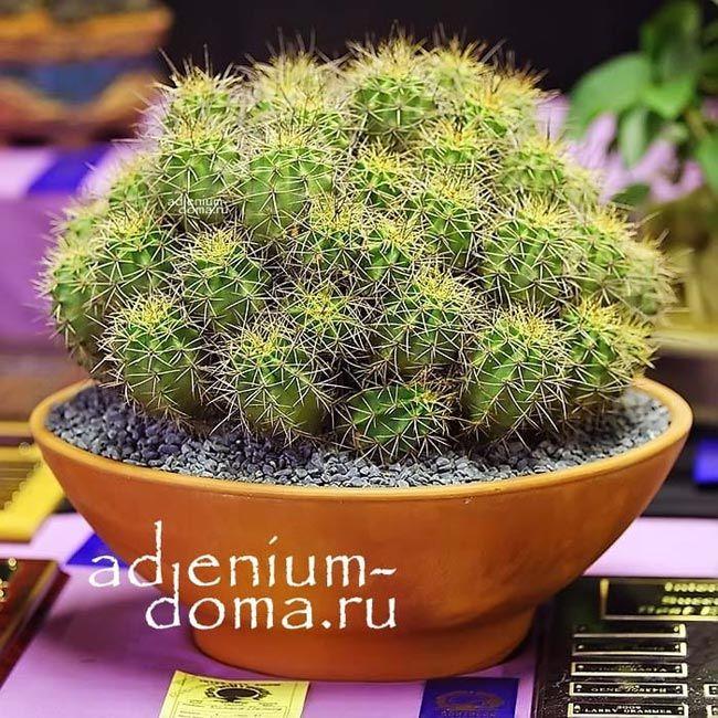 Echinocereus COCCINEUS Эхиноцереус шарлаховый 1