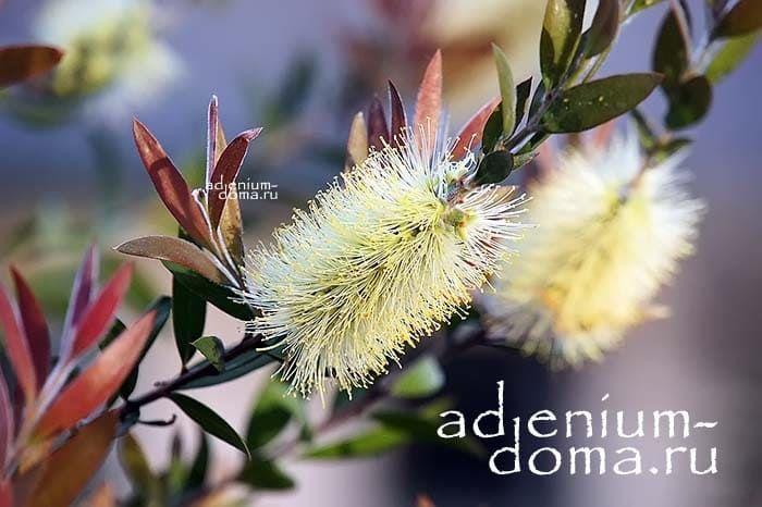 Callistemon PALLIDUS Каллистемон бледный цветок 1