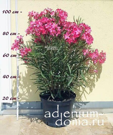 Nerium oleander PAPA GAMBETTA Олеандр низкорослый 3