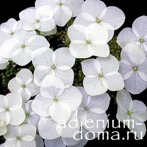 Hydrangea QUERCIFOLIA Гортензия дуболистная цветок макро 1