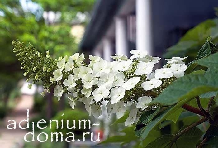 Hydrangea QUERCIFOLIA Гортензия дуболистная цветение ветка 2