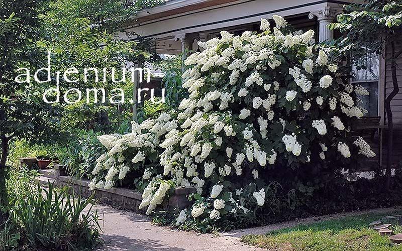 Hydrangea QUERCIFOLIA Гортензия дуболистная куст в саду 3
