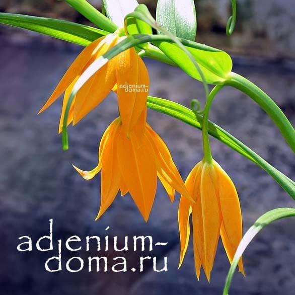 Gloriosa MODESTA Глориоза Модеста цветок 1