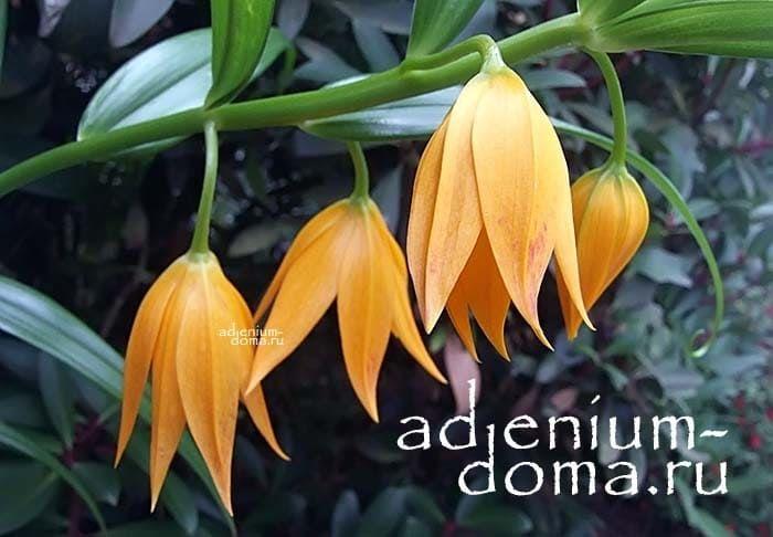 Gloriosa MODESTA Глориоза Модеста цветение 2