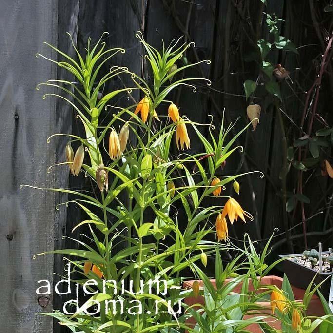Gloriosa MODESTA Глориоза Модеста в саду 3