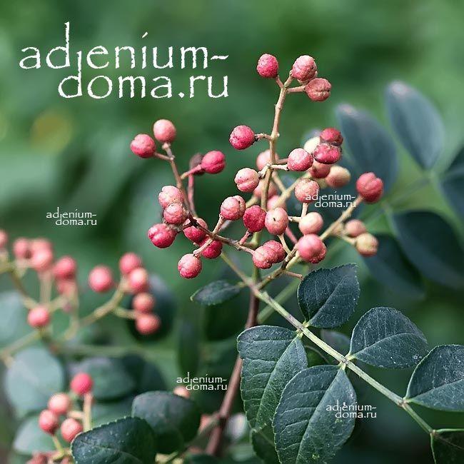 Zanthoxylum ARMATUM Зантоксилум вооружённый плоды 1