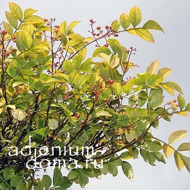 Zanthoxylum ARMATUM Зантоксилум вооружённый ягоды 2
