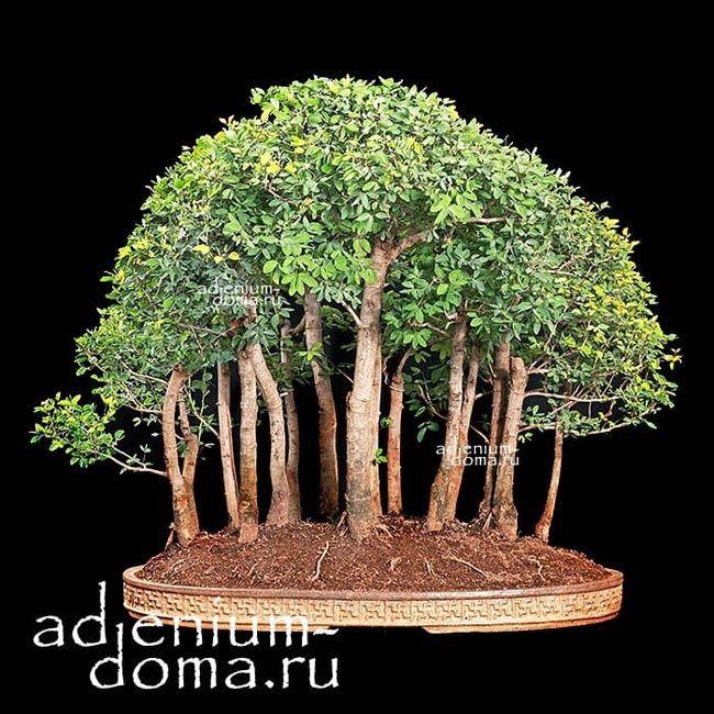 Pithecellobium DULCE Питецеллобиум Манильский тамаринд бонсай bonsai 2