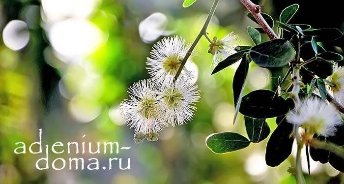 Pithecellobium DULCE Питецеллобиум Манильский тамаринд цветение 1