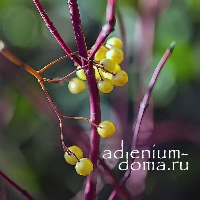 Cornus ALBA SIBIRICA Дерен белый Сибирика ягоды 2