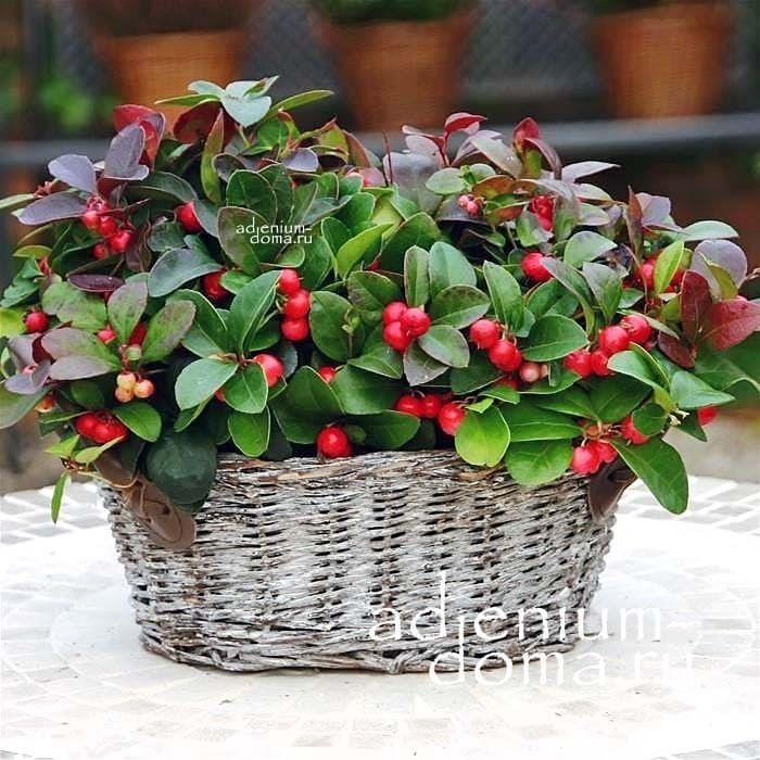 Gaultheria PROCUMBENS Гаультерия лежачая ягоды в корзине 2